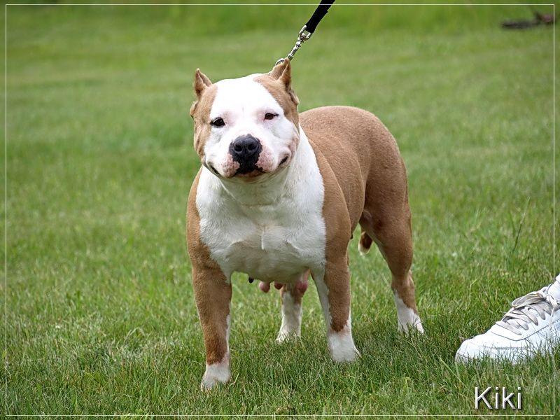 Blue pitbull dogs for sale blue pitbull dog pitbull dog