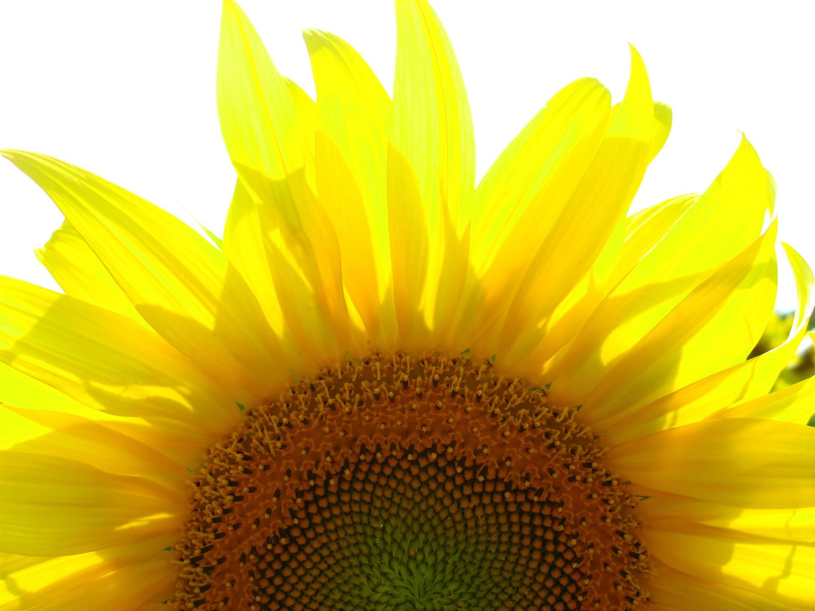 sunflower HD Photos Desktop Backgrounds Wallpapers Image ...
