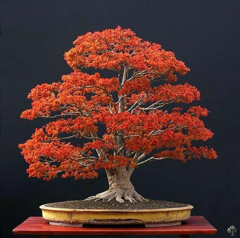 Famous Acer Bonsai By Walter Pall This Picture Was Taken In Late