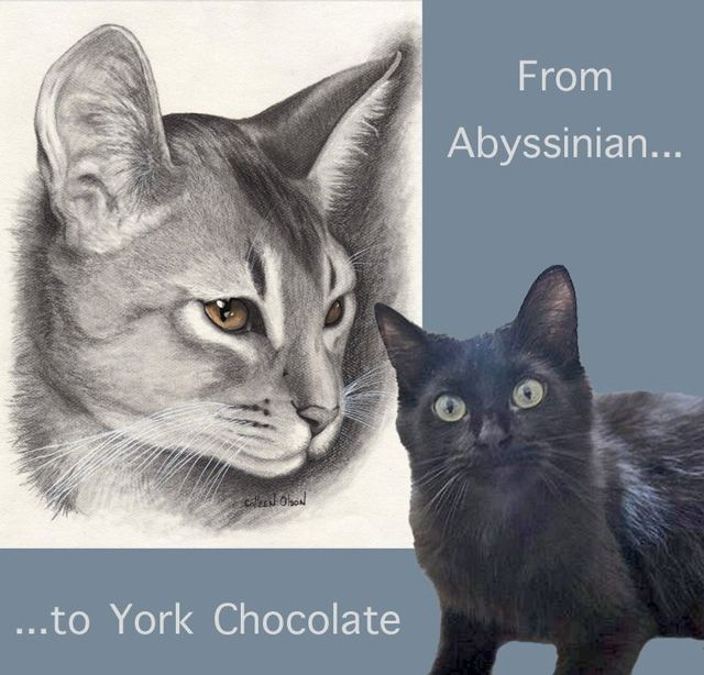 Cat Breed List A Z Cat Drawing By Colleen Olson Yorky From