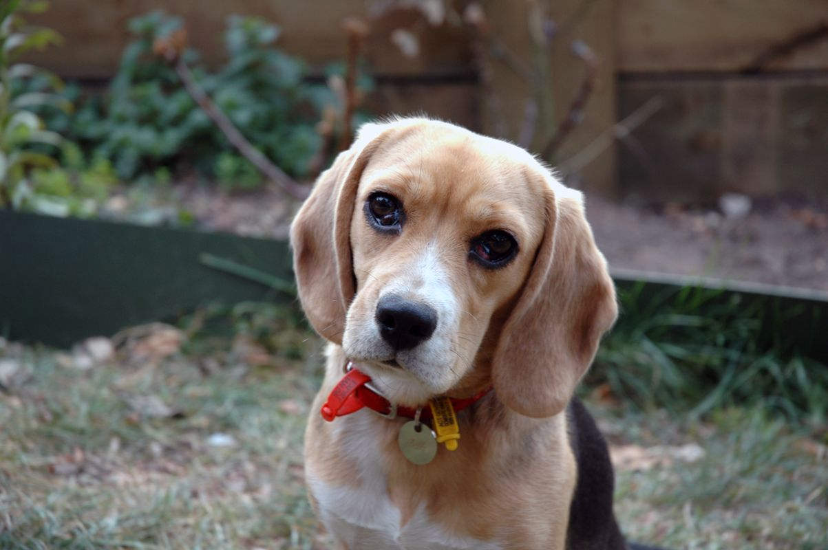 A Beagle is a medium sized dog breed and a member of the