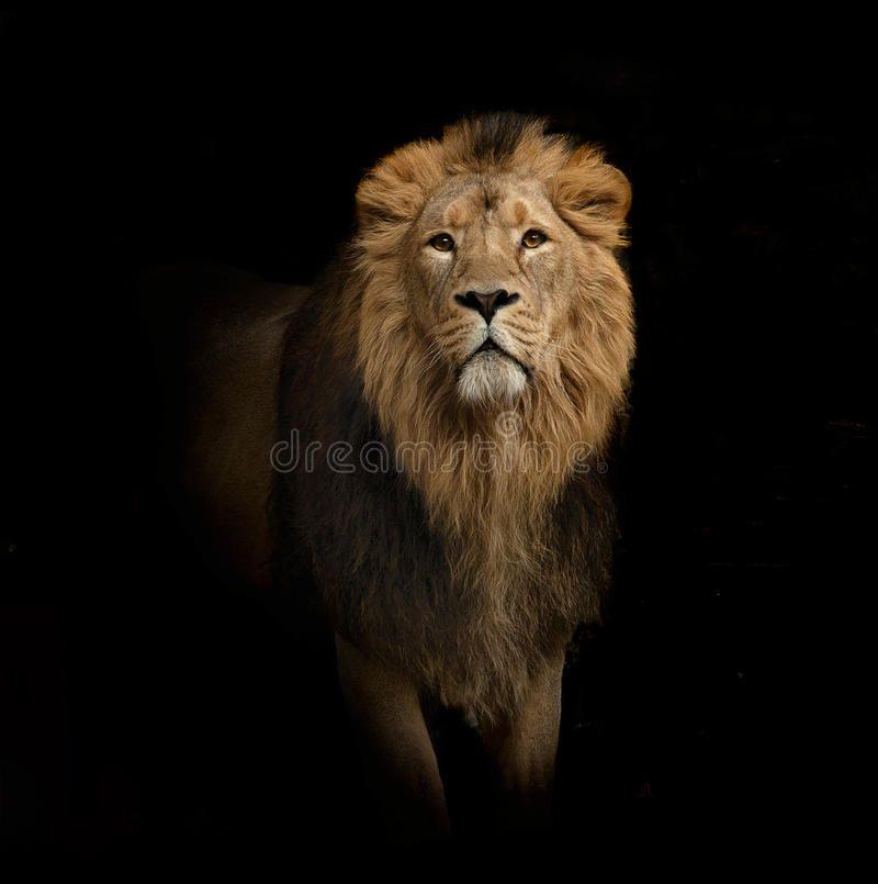 Lion Portrait On Black The Lion Portrait On Black Aff Portrait Lion Lion Black Ad Animals Pet Portraits Lions