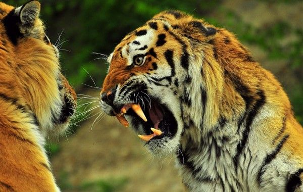 Angry Tiger Hd Wallpapers 100 Quality Hd Desktop