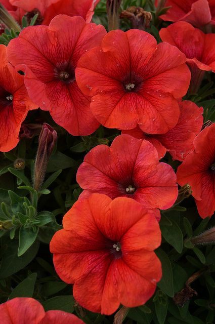 Petunia Bingo Perfectunia Orange 3 Petunias Red Flowers Beautiful Flowers