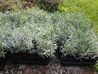 Pin On Growing Using Lavender
