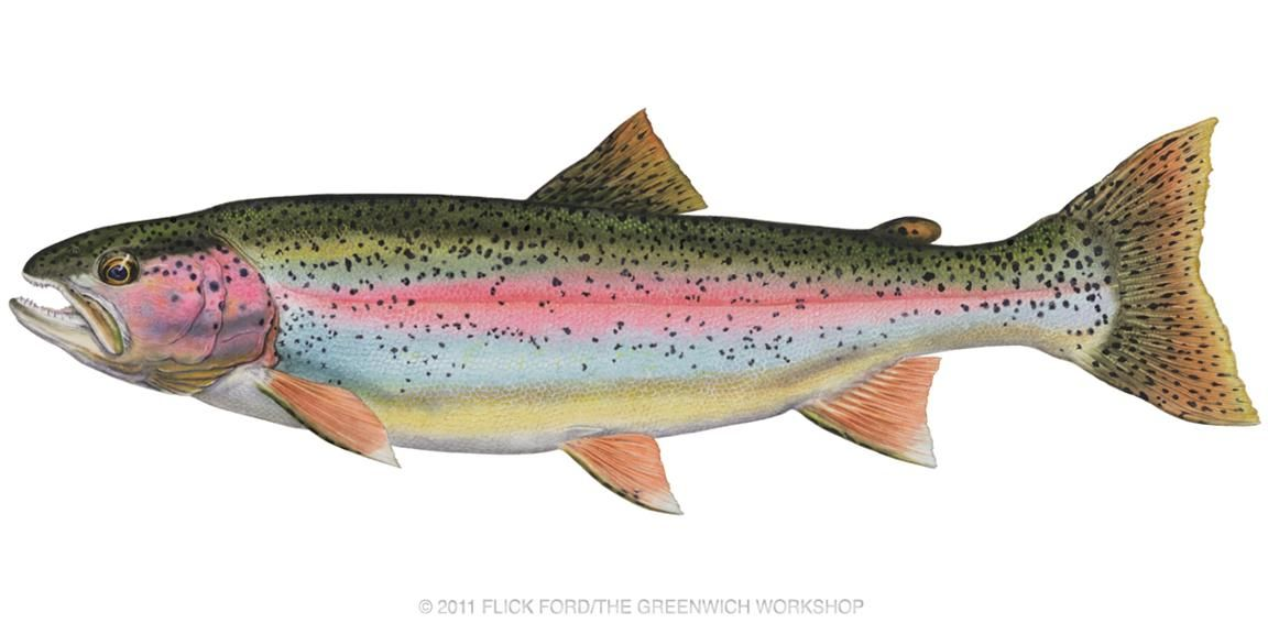 rainbow trout clip art google search painted wood pinterest rh pinterest com trout silhouette clip art rainbow trout clip art