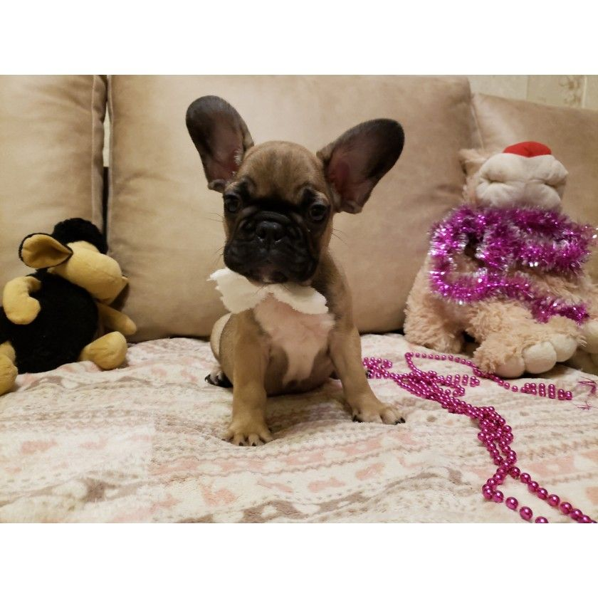 Malchik Palevyj French Bulldog Bulldog Puppies For Sale French