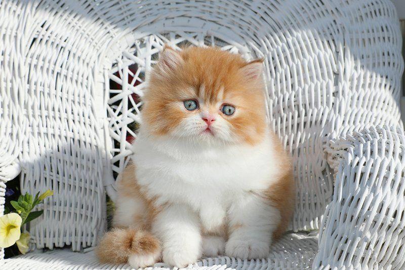 Little Nemo Click Here Designer Persian Kittens For Sale Luxury Kittens 660 292 2222 660 292 1126 Shipping Available Persian Kittens For Sale Cute Cats And Dogs White Persian Kittens