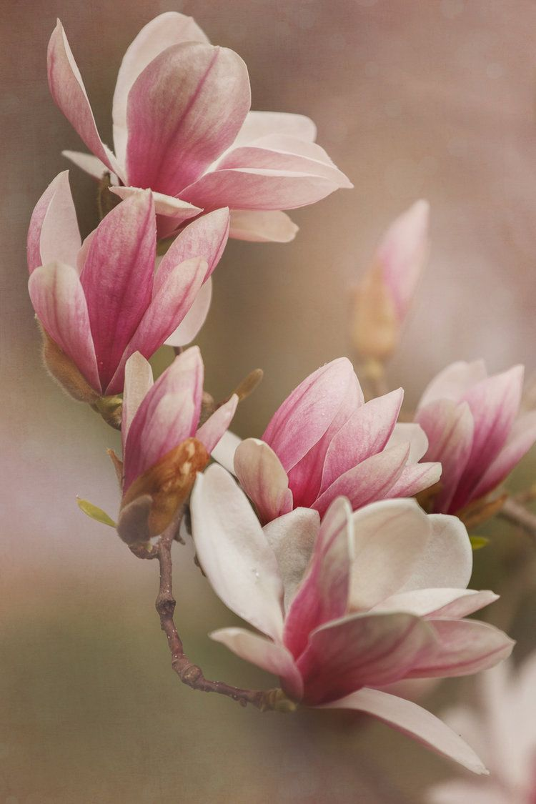 Magnolias And Creating Floral Art Flores Pinturas De Flores Pintura Flores Oleo