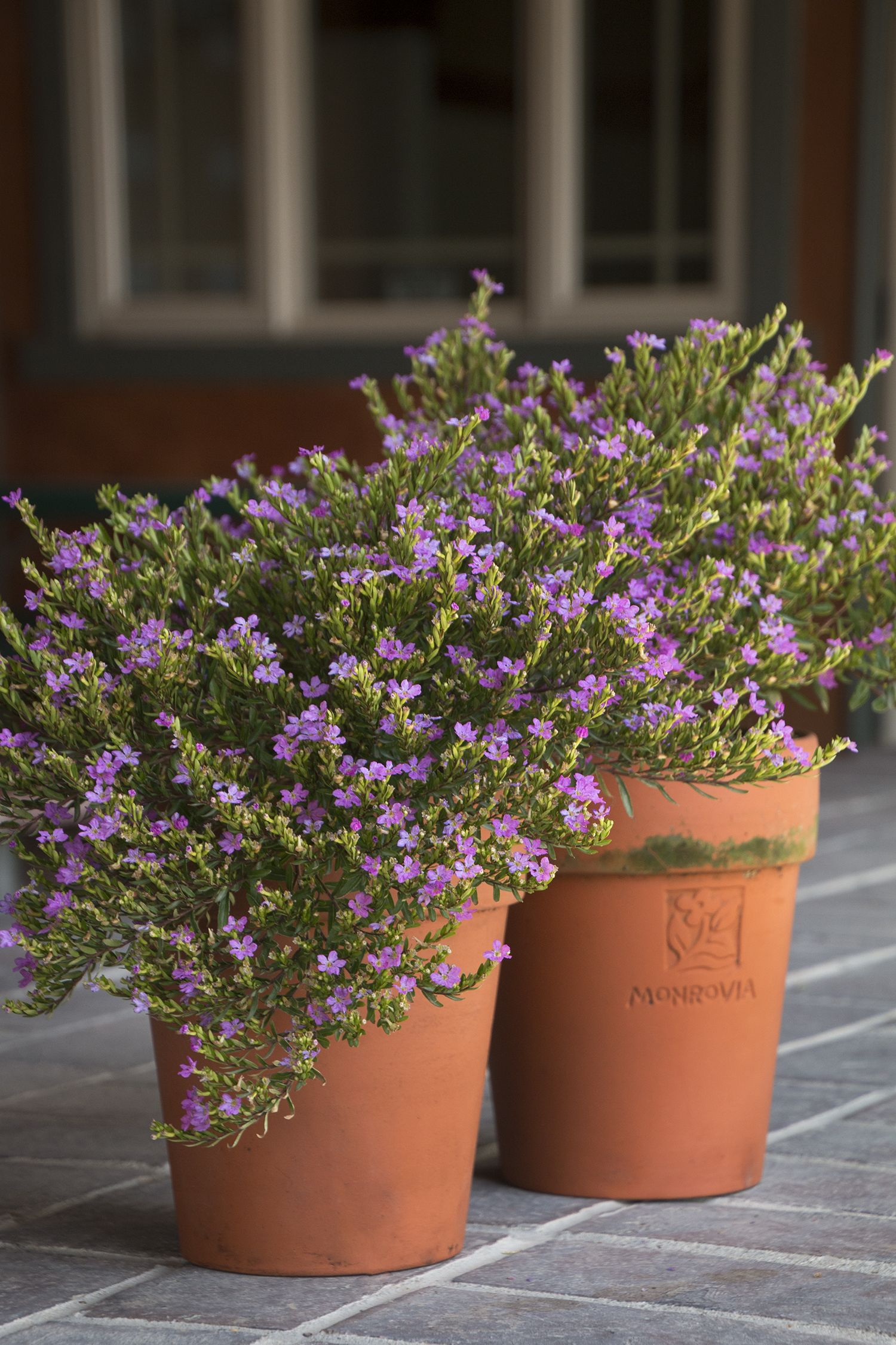 Mexican Heather Monrovia Mexican Heather Heather Plant Cuphea Plant Plants