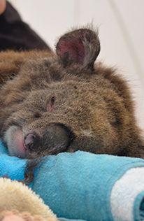 Faire un don pour aider IFAW  International Fund For Animal Welfare. à aidez les koalas et autres animaux