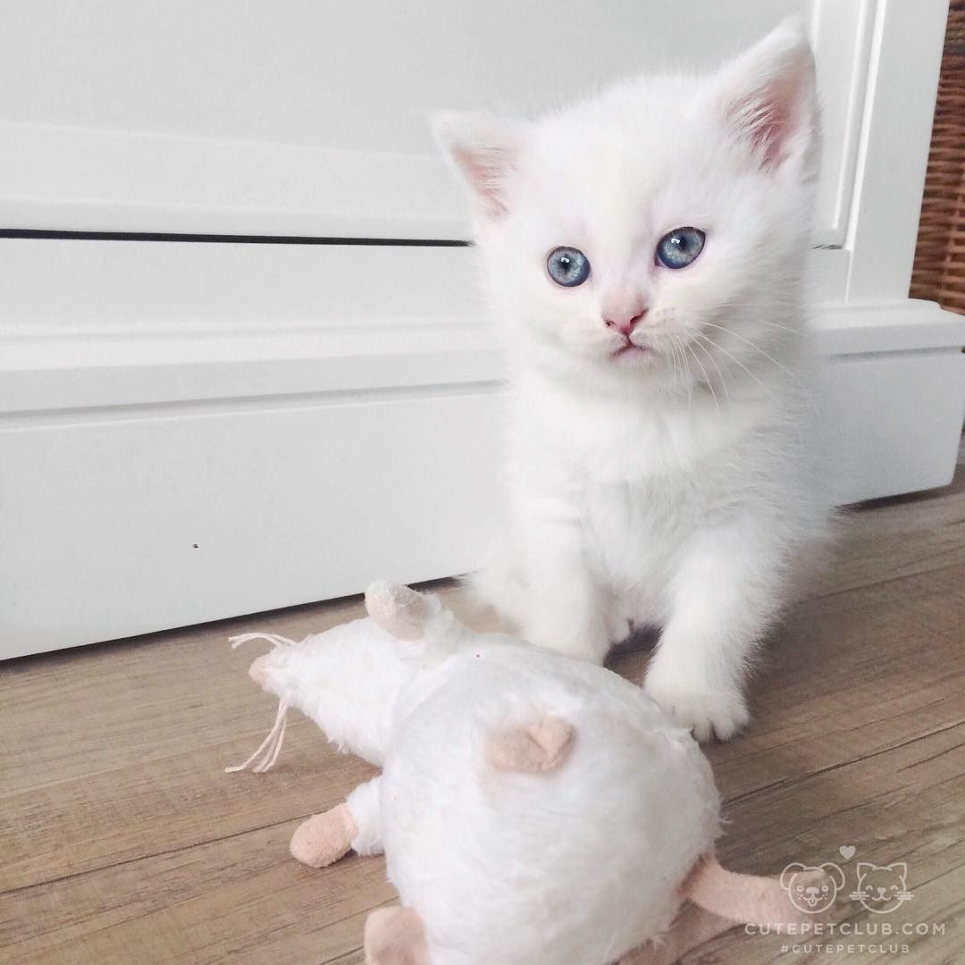 From Lianne Smit Coco Loves To Play With Her White Matching Mouse Cutepetclub By Cutepetclub Instagram Cutepetclub