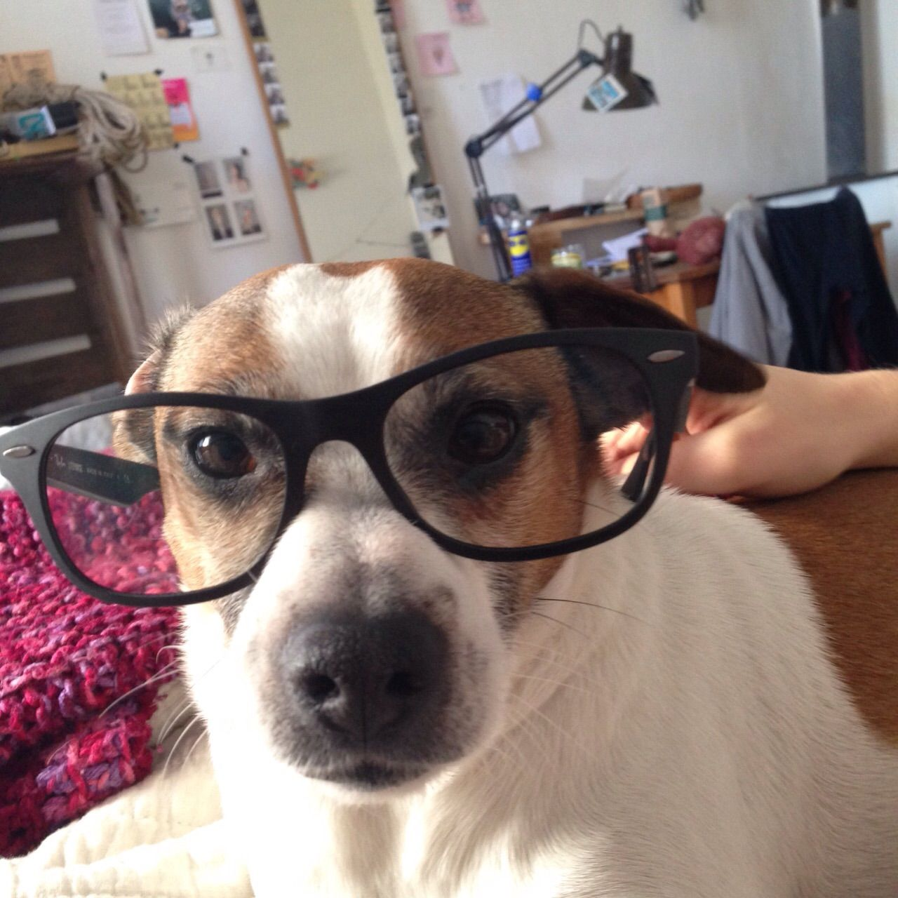 Hermann Helm Danish Swedish Farmdog Pawshake Berlin Funny Dog
