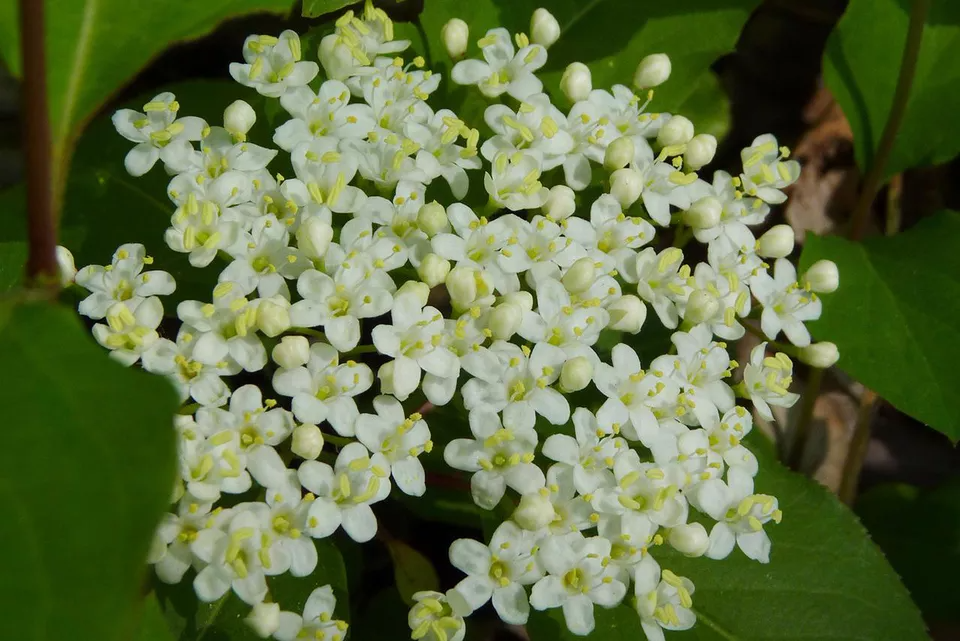 How to Grow and Care for Black Haw Viburnum