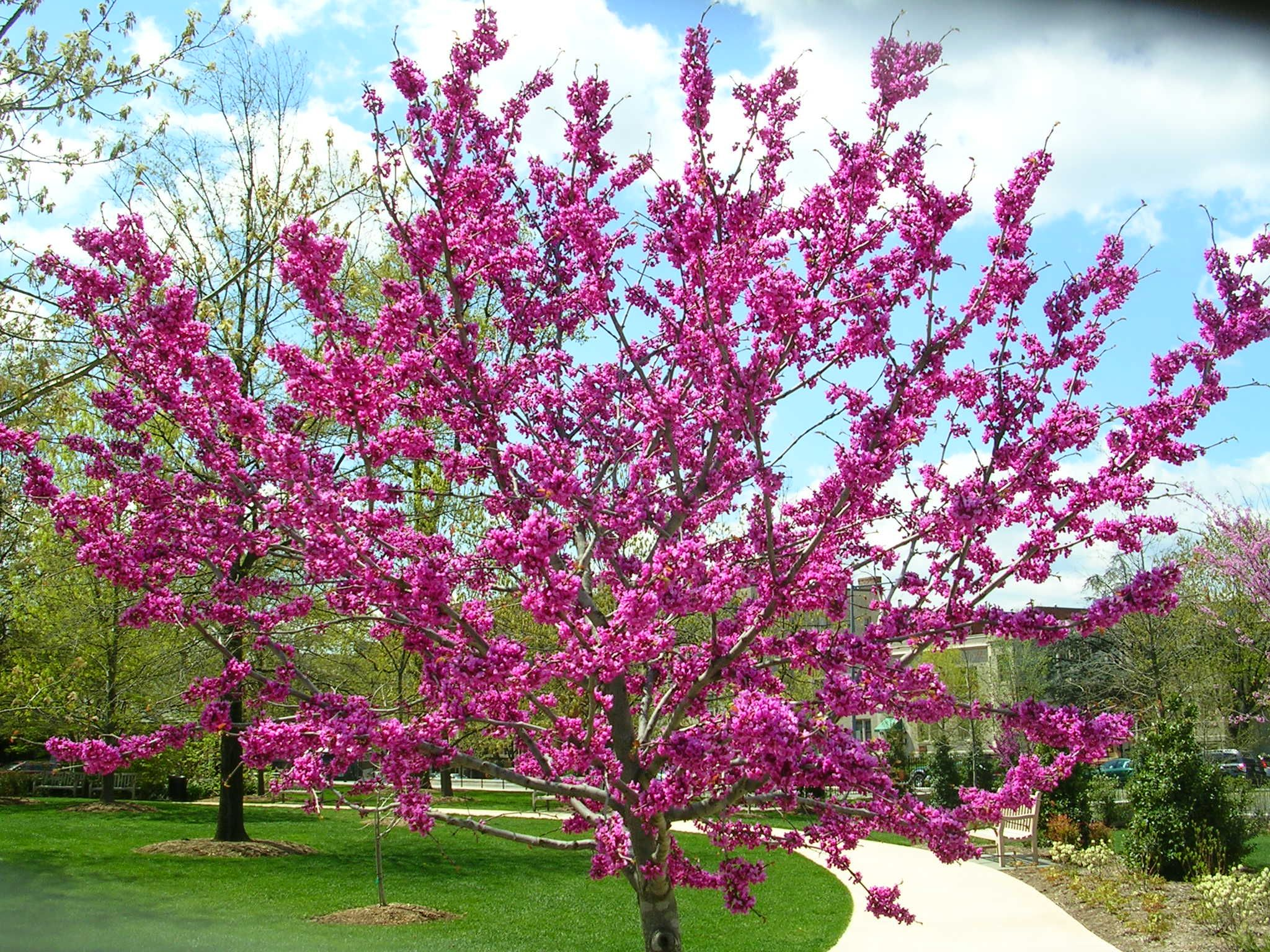 Zone 9 flowering trees 28 images 25 best ideas about for Best ornamental trees for zone 7