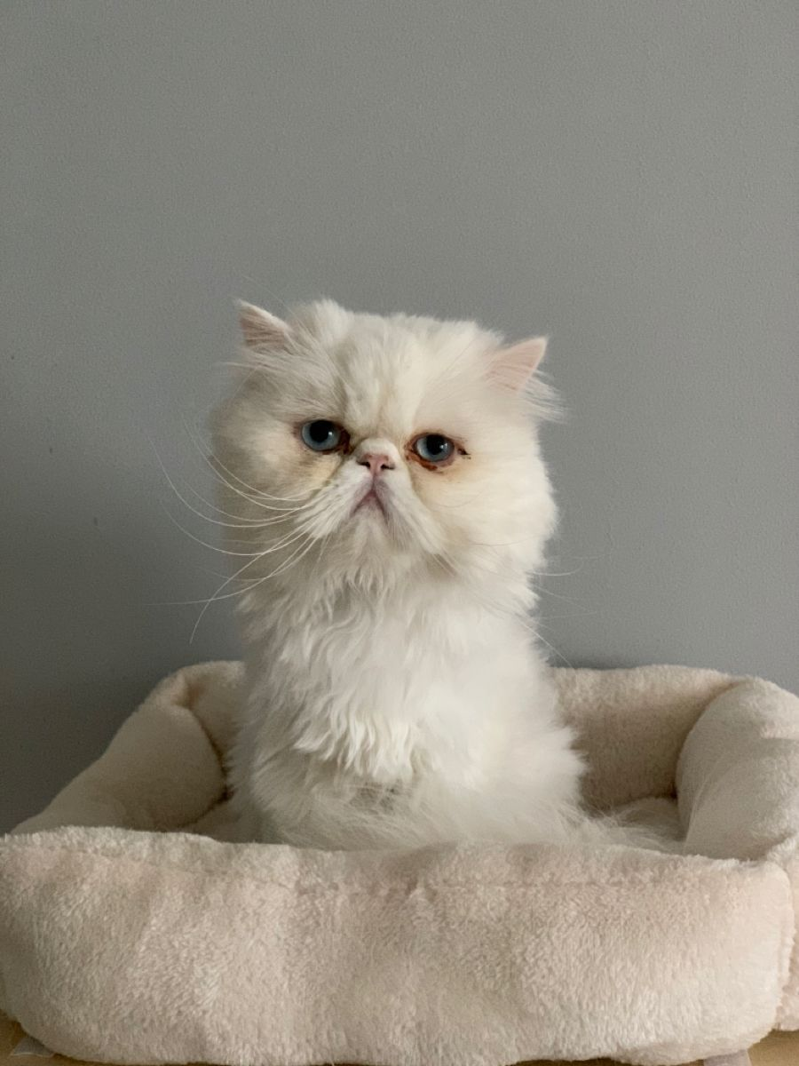 Quito, my beloved white Persian cat with blue eyes and the sweetest personality #persiancat #persian #persiancatkitty #chat #cat #chatpersan #whitecat