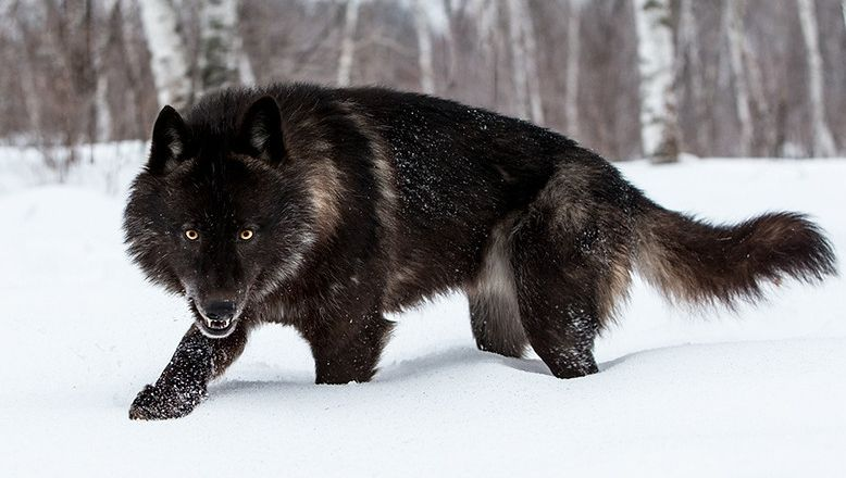 black timber wolf photographed at a wildlife reserve in northern