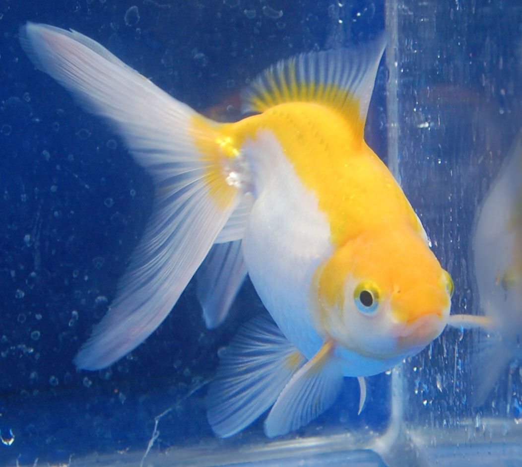 Goldfish yellow and white fantail koi pinterest dyr for Goldfisch und koi