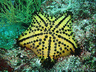Chocolate Chip Seastar Ocean Creatures Sea Animals Ocean Animals