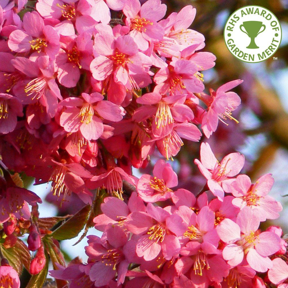 Prunus 'Kursar' Tree Flowering cherry tree, Blossom