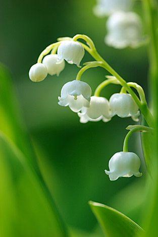 ~~Convallaria keiskei by kaz@blooming~~ Muguet Fleur, Muguet 1er Mai, Brin De Muguet, Muguet Porte Bonheur, Feuille Arbre, Myosotis, Fleurs Nature, Beau Paysage, Belles Fleurs