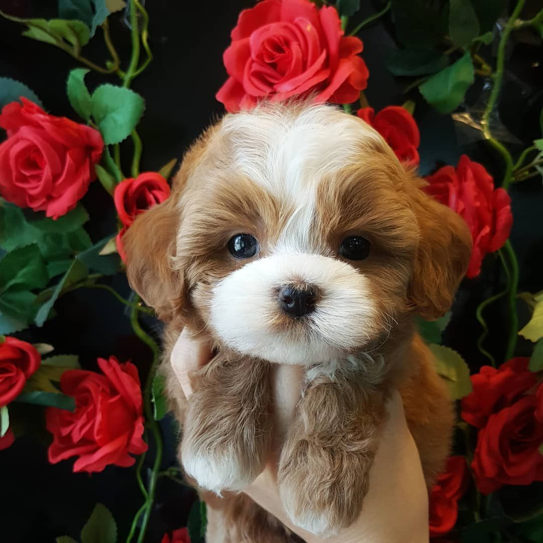 Pin on Apricot red poodle puppies for sale