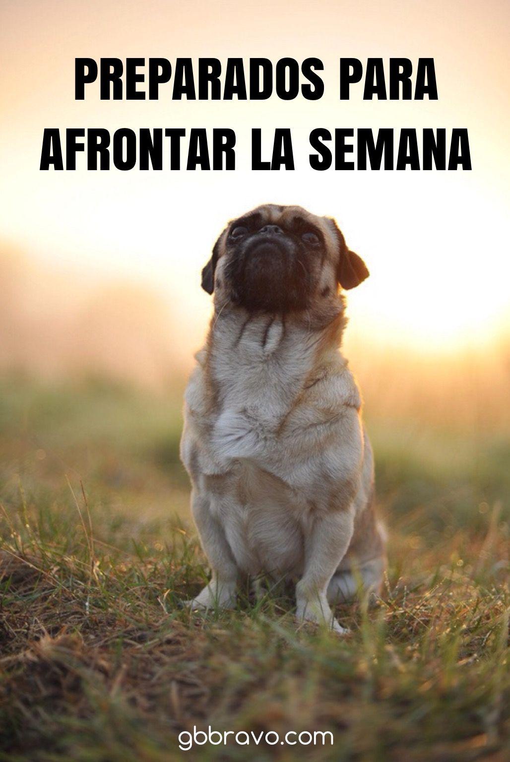 Vamos Con La Semana Animo Y Feliz Lunes Happymonday Humor De Perros Gatitos Divertidos Perros Pug