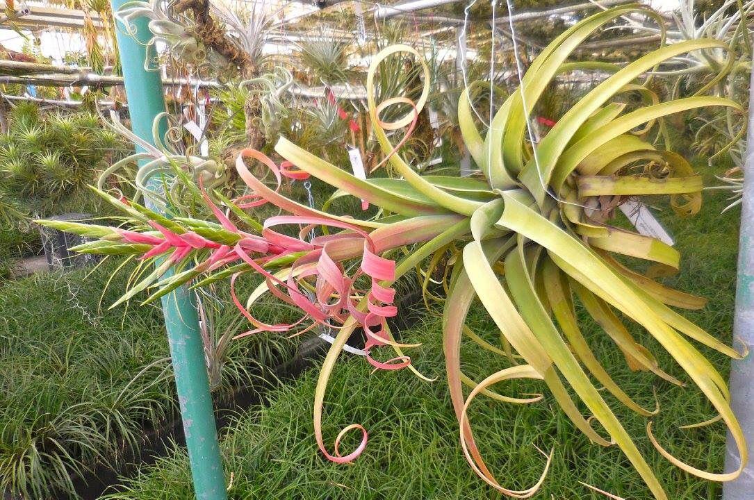 Giant tillandsia concolor x t streptophylla hybrid by Tillandsia hybrids