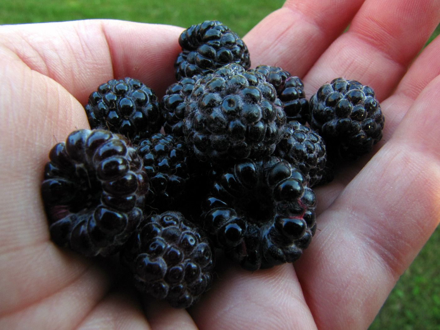 What S The Difference Blackberry Vs Black Raspberry Black Raspberry Growing Raspberries Raspberry Plants