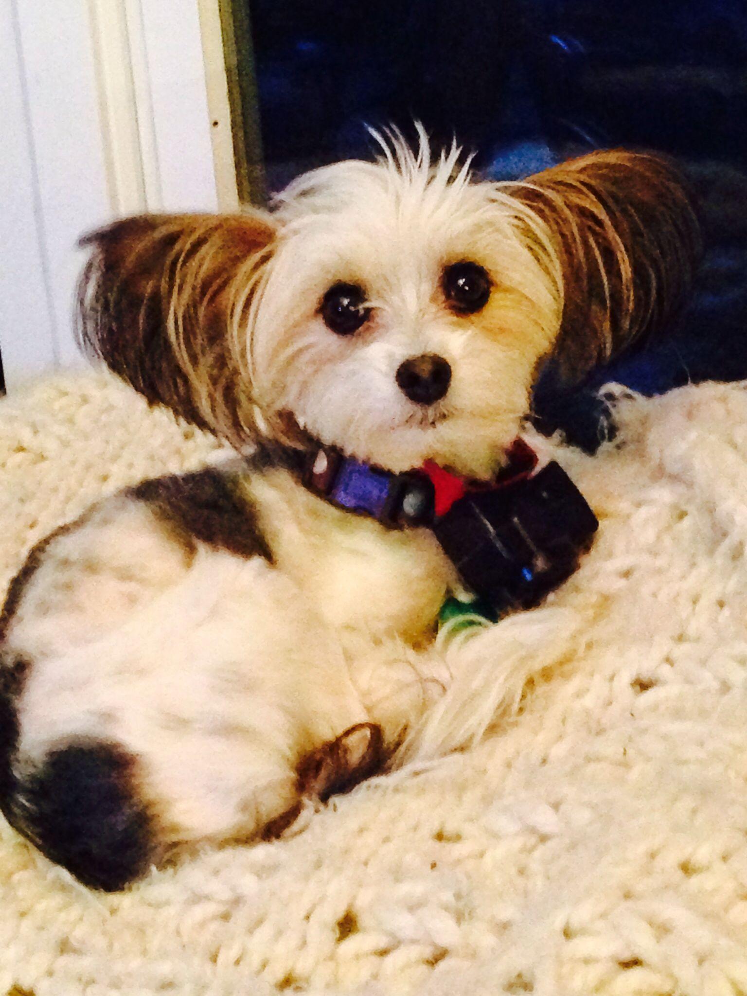Papitese Unique Dog Breeds Rare Dog Breeds Hybrid Dogs