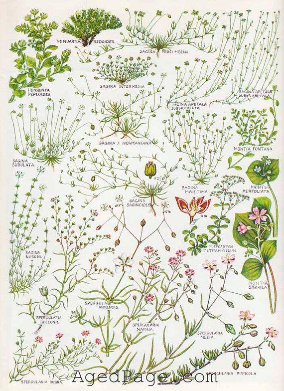 Vintage Botanical Print, British Wildflower Chart, Art Illustration to Frame, Parlwort, Red Spurrey
