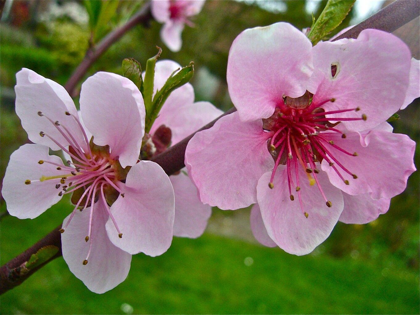Peach Blossom Delaware State Flower Peach blossoms