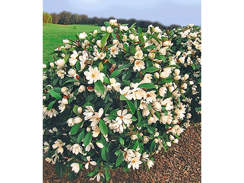 Duft Magnolien Hecke Fairy 1 Pflanze Michelia Fairy Magnolia