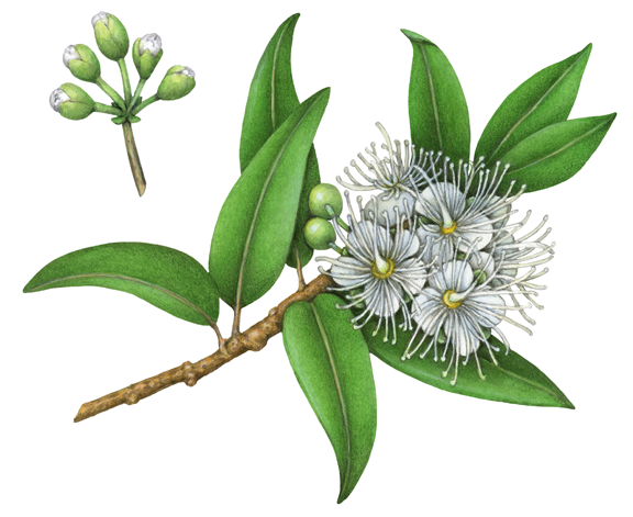Botanical Illustration Of Lemon Myrtle With White Flowers And Leaves Myrtle Flower Herbs Illustration Flower Illustration