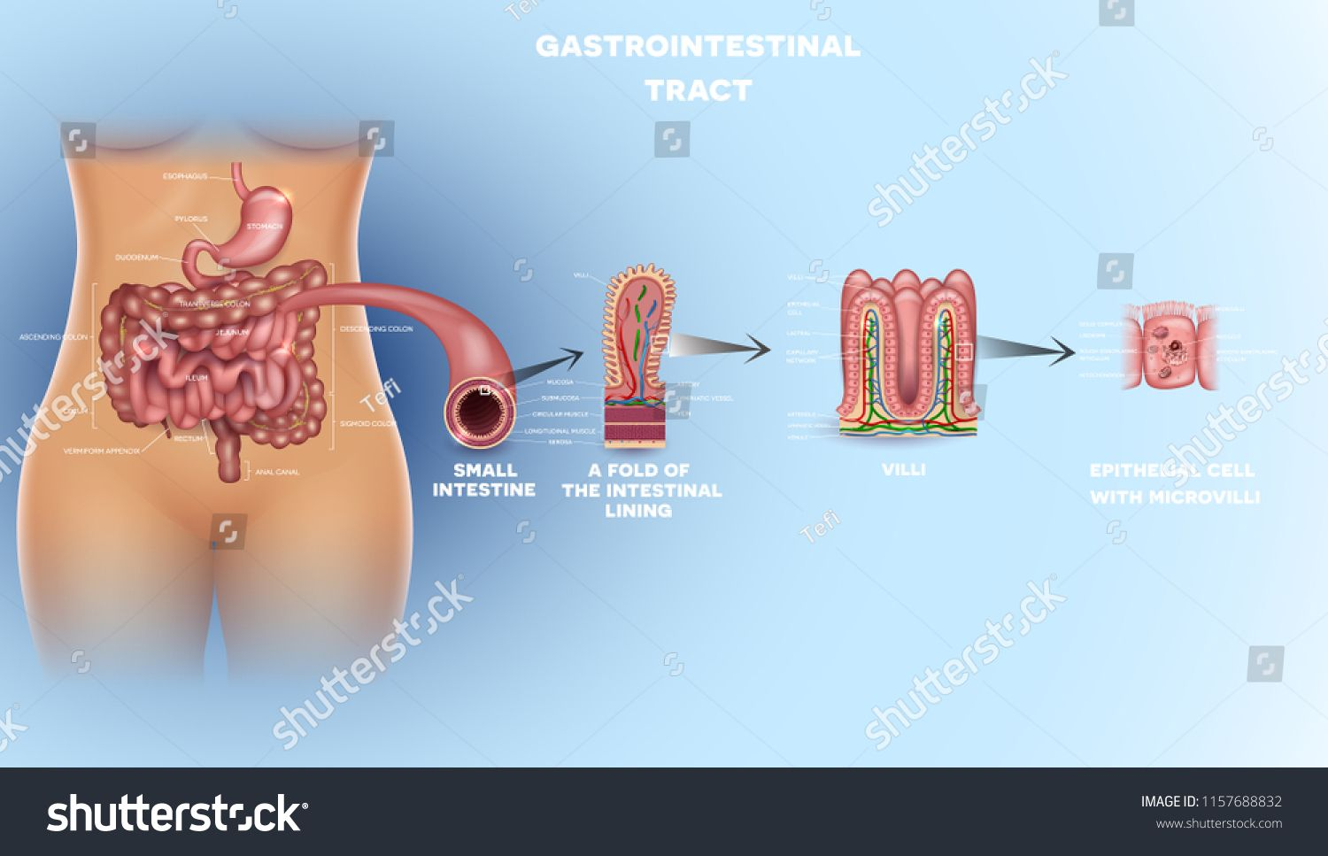 Gastrointestinal Tract Anatomy Intestinal Villi Small Intestine