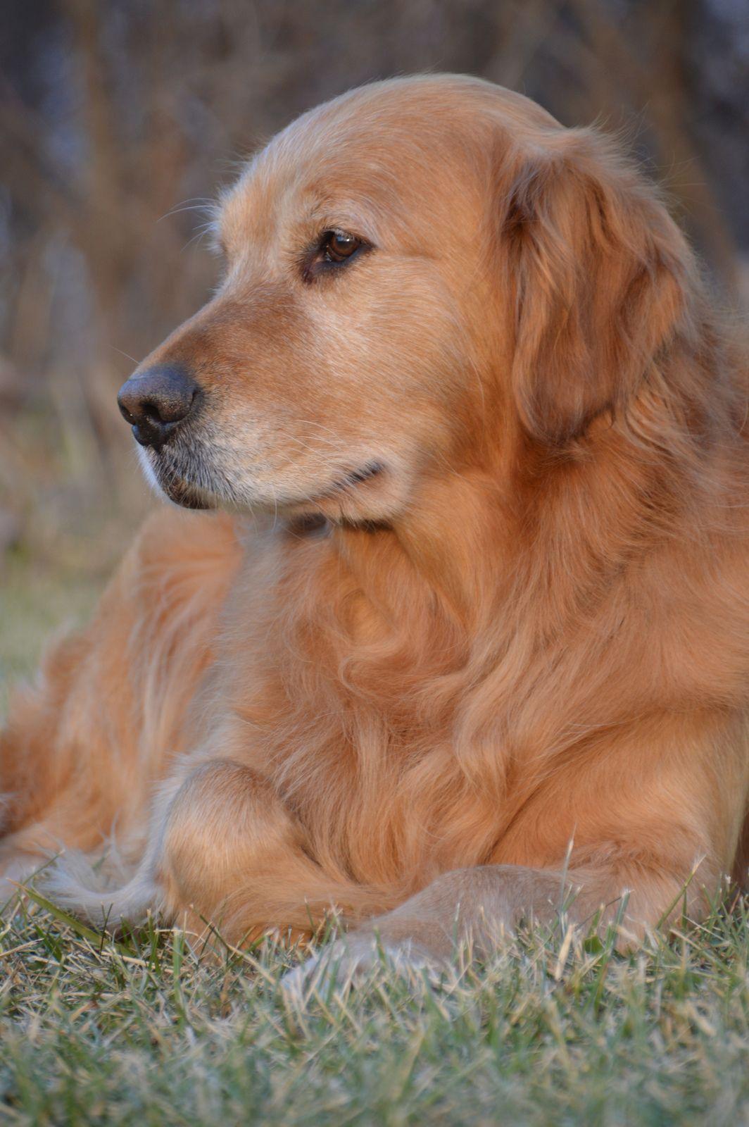 Austin Portrait Dogs Golden Retriever Dogs Beautiful Dogs