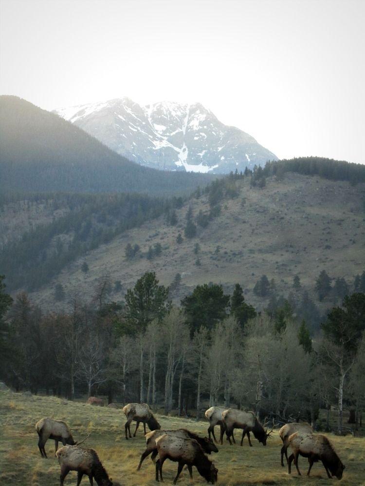 Elk in Rocky Mountain National Park, near Estes Park, CO