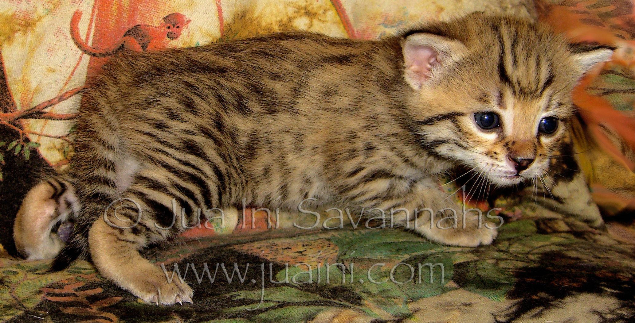 Female Golden Bst F2b Savannah Kitten 2 1 2 Weeks Old Starting To Explore 6 17 14
