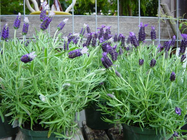 Lavender Is Very Drought Tolerant And Very Attractive 400 x 300