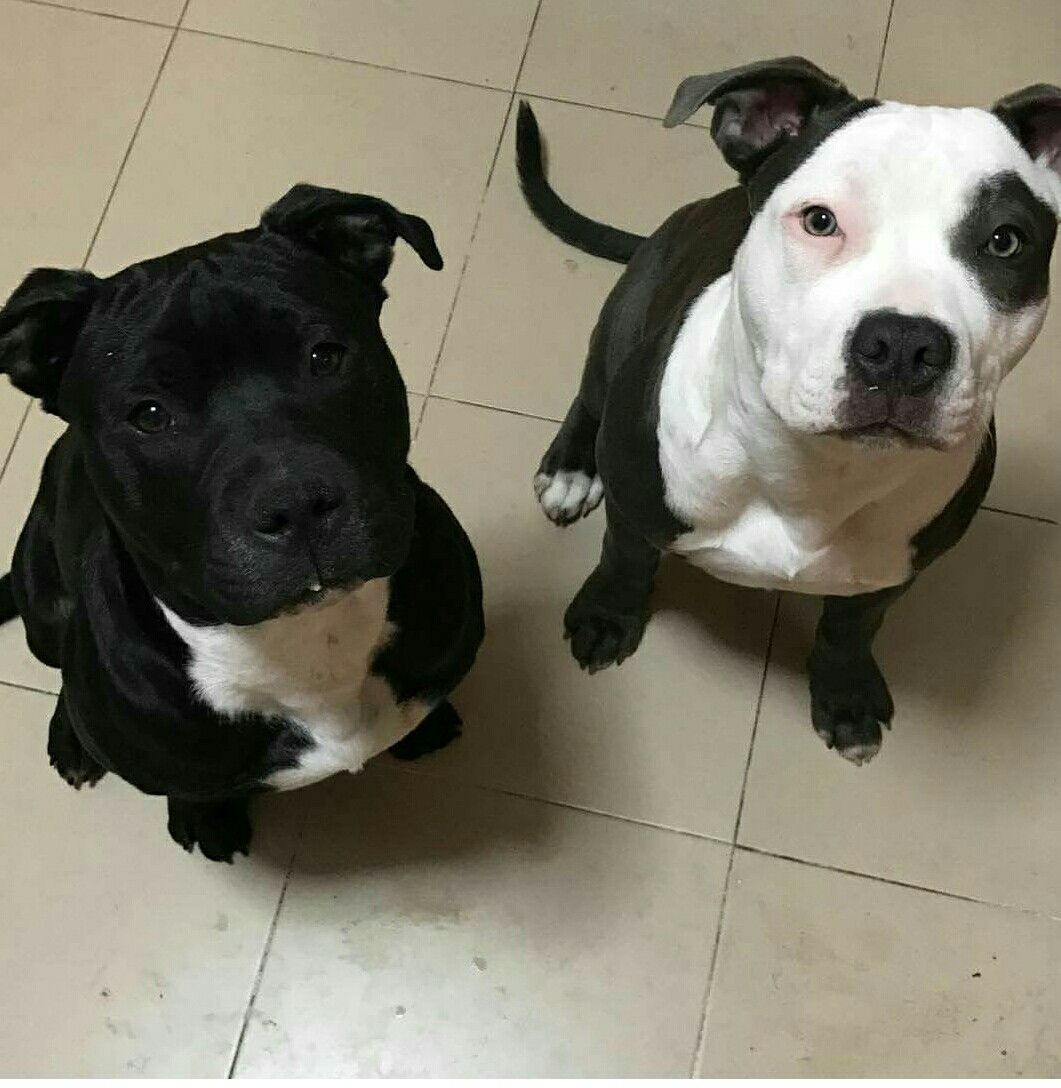 Pin By Tracy Carlisle On Pitbull Cute Dogs And Puppies