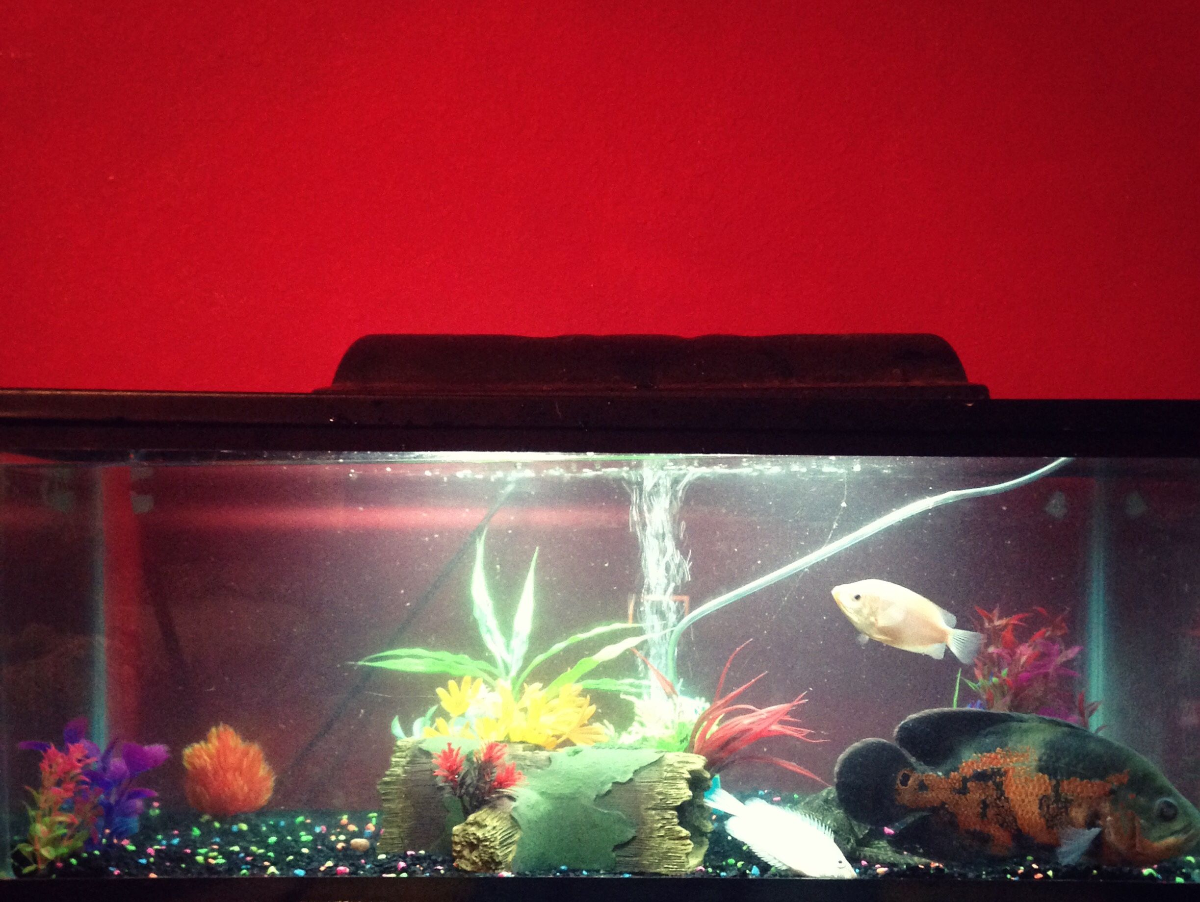 This is my very own fish tank, I have a magnificent algae eater, one ...
