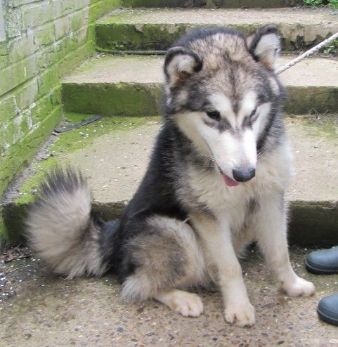 Loki 7 Month Old Male Malamute Cross Available For Adoption