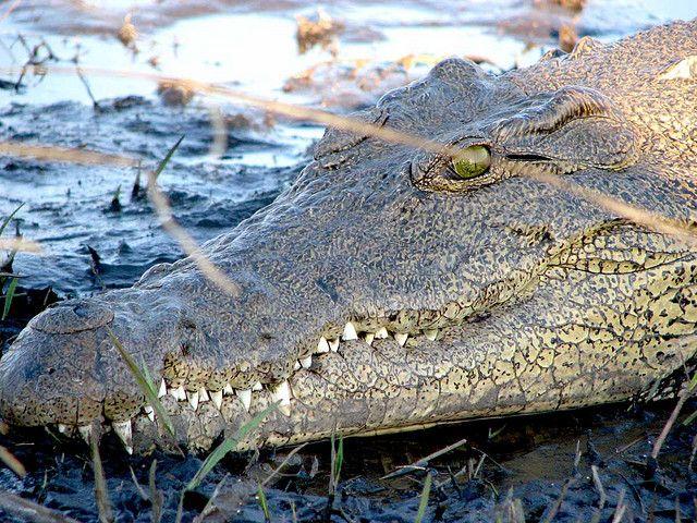 Crocodile sur les berges de la rivière Chobe dans le Parc National de Chobé