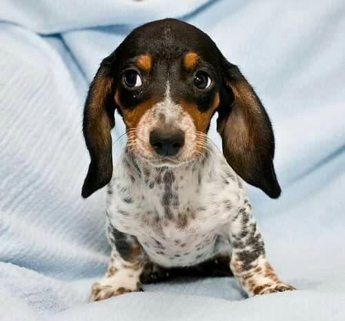 Sidelong Glance Dachshund Love Weenie Dogs Dapple Dachshund