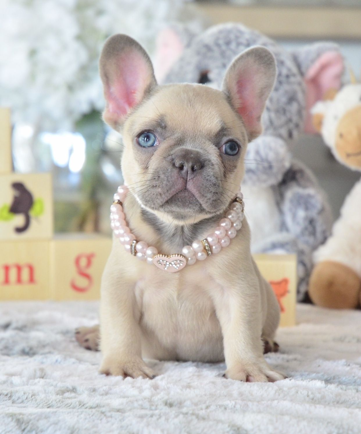 """pretty in pink 🌸"""" 📲 www.poeticfrenchbulldogs 🐶 french"""