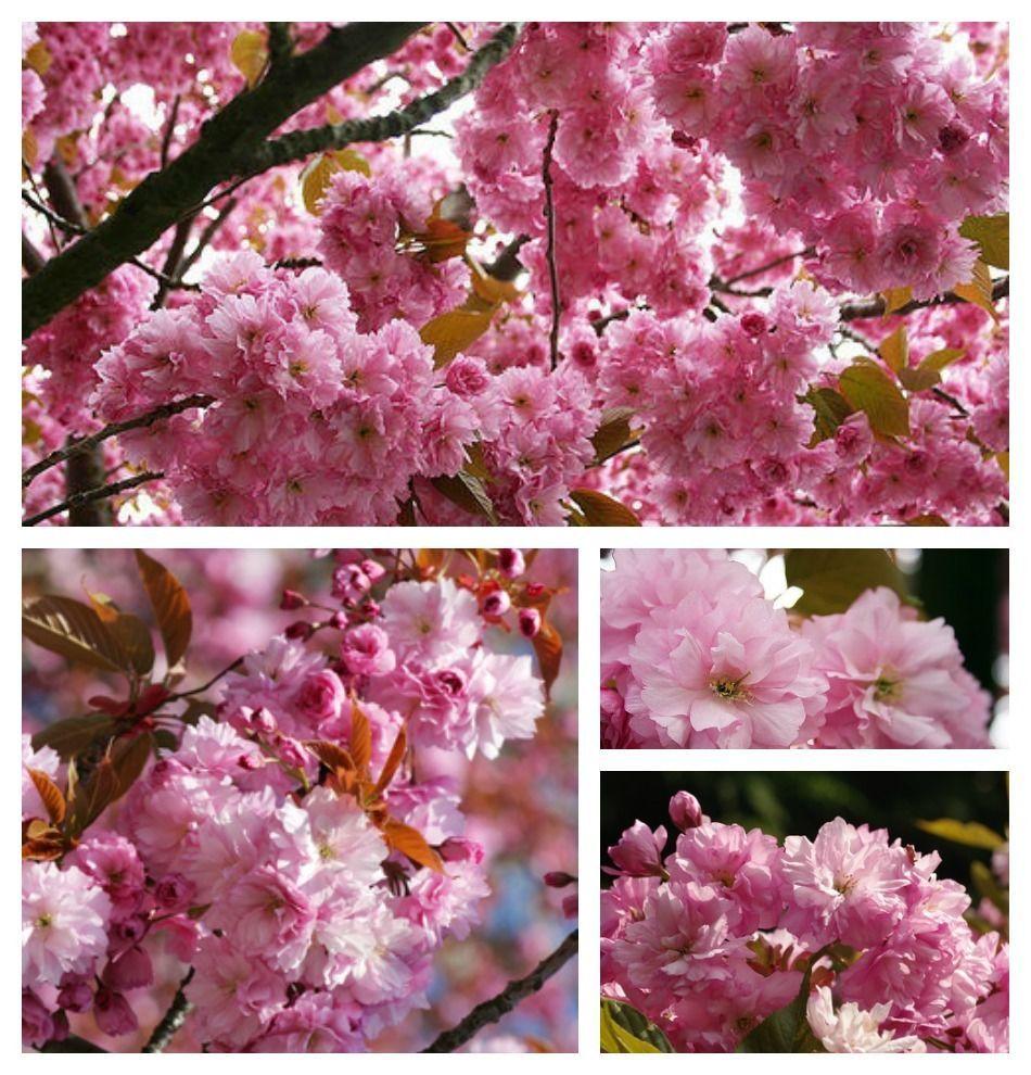 Japanische zierkirsche kanzan hochstamm baum 8 10 rosa bl tenwolken gr n gr n gr n sind - Japanische gartenpflanzen ...
