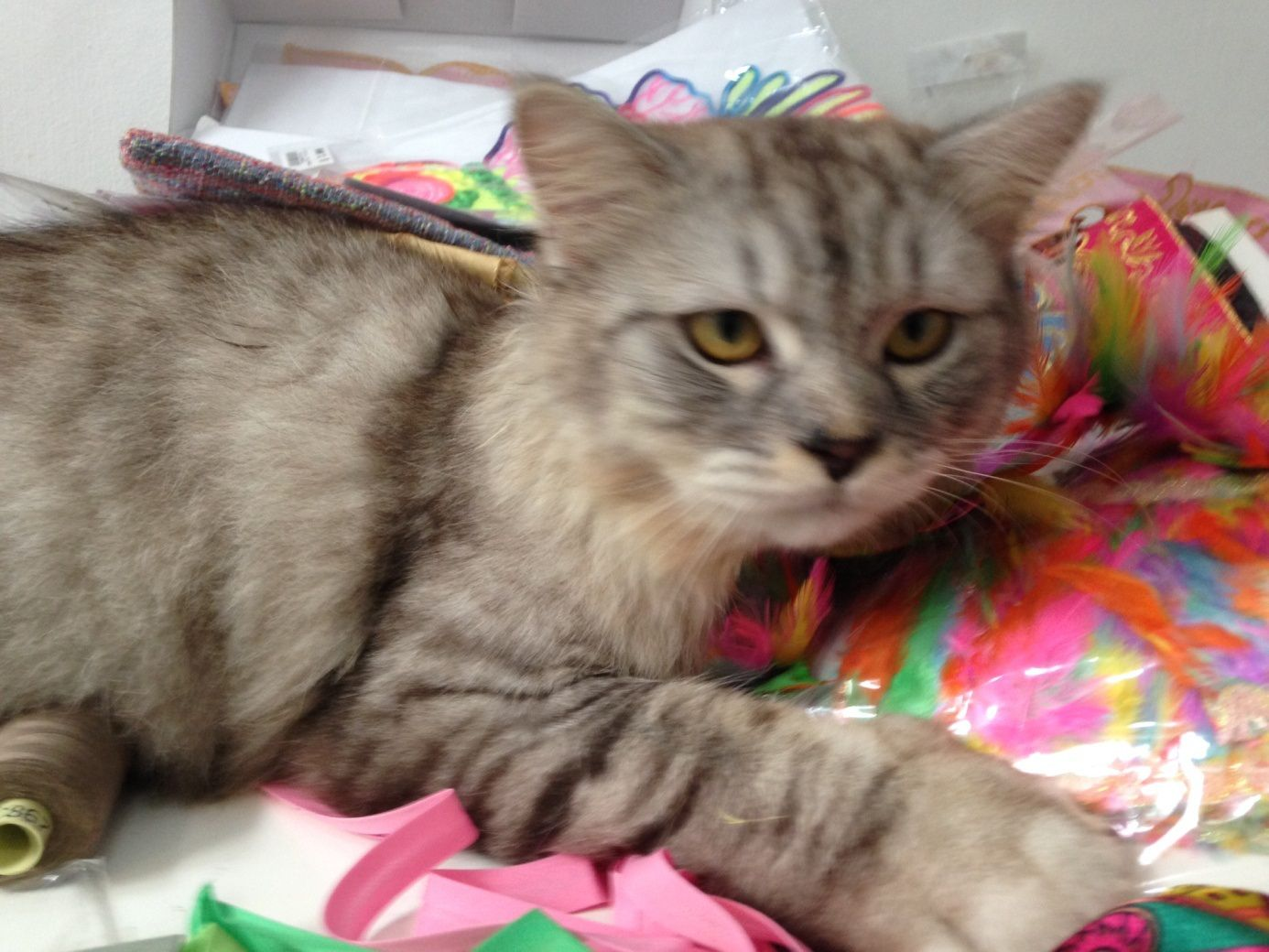 Have You Seen Gucci A Missing Ragamuffin Cat Lost At Sembawang Springs Estate Name Of Pet Gucci Breed Ragamuffin Color Grey And Gold With White Paw Gend