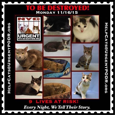 To Be Destroyed 11 14 15 Cat Love Cat Adoption Cats And Kittens
