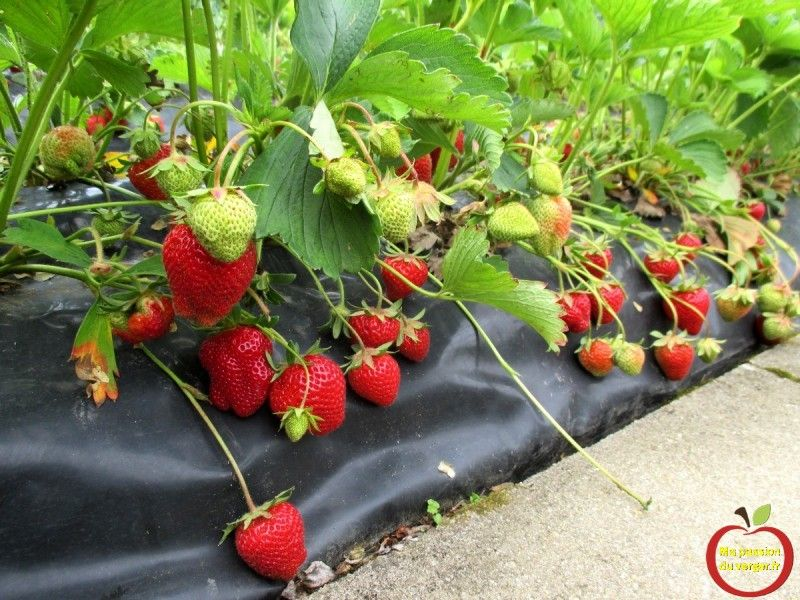 planter des fraisiers sur bache comment planter des fraises sans travail et entretien ma. Black Bedroom Furniture Sets. Home Design Ideas