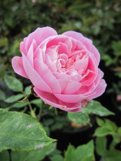 Reine Victoria Rose   Historische Rose La Reine Victoria - Historische Rose -